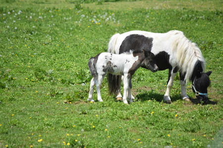 Black and white mini horse mare and colt standing in a grass pasture. 免版税图像