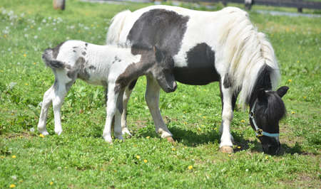 Spring with a baby foal and his mother grazing in a field.