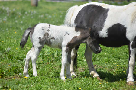 Beautiful sweet baby black and white paint miniature horse.