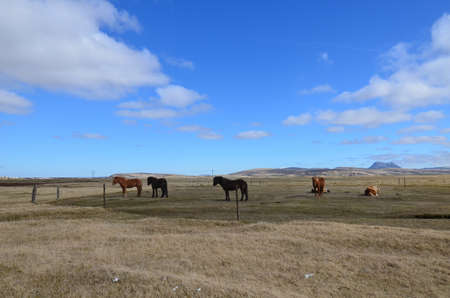 Adorable group of Icelandic horses in Reykjavik Iceland 写真素材
