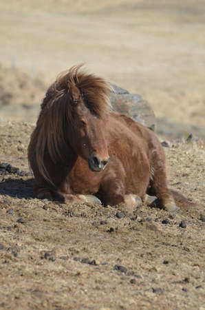 Brown Icelandic Horse resting on the ground