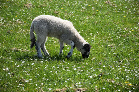 Sweet young grazing lamb in a field with small white flowers. Archivio Fotografico