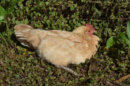 Light brown chicken roosting in a grassy area.