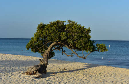 Gorgeous twisted branches of a divi tree in Aruba.