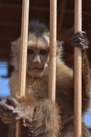 Very cute capuchin monkey holding on to the cage bars.
