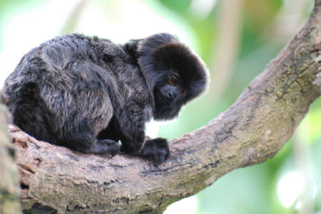 Really cute black marmoset sitting on a tree branch.