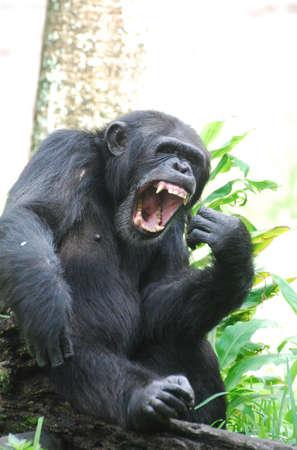 Amazing chimpanzee with his mouth wide open. Foto de archivo