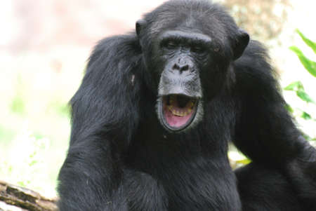 Chimpanzee making a ruckus with his mouth wide open.