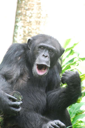 Silly chimp playing an air guitar and lip synching a song.