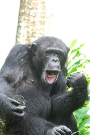 Silly chimpanzee making faces with his lips and mouth.