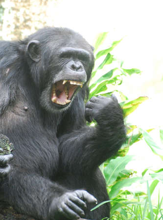 Chimp with his mouth wide open saying