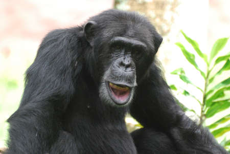 Funny chimp playing with his lip and showing off his teeth.