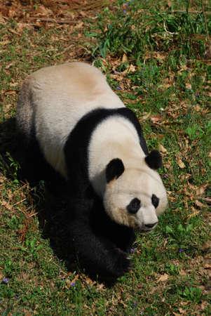 Looking down at a sweet faced giant panda bear.