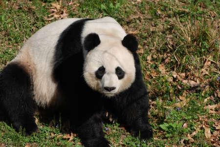 Really cute giant panda bear sitting on a grass area.