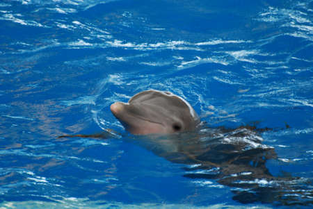 Dolphin with his head raised out of the water.