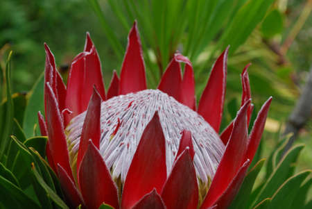 Tropical garden with a spikey red protea flower.