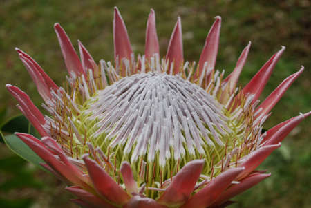 Garden with pretty pink spikey protea flowers.