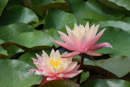 Lily pads with blooming pink water lilies in a water garden.