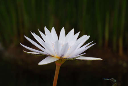Pretty white flowering water lily in a water garden.