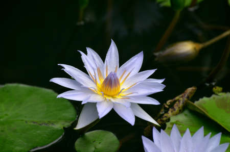 Blooming purple water lily in a garden with lily pads.