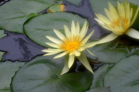 Pretty pair of blooming yellow water lilies in a water garden.