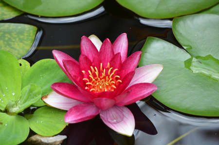 Water garden with a red water lily flowering.