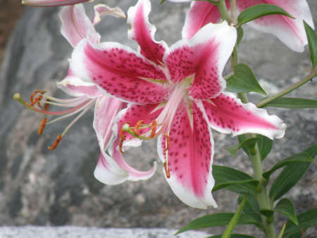 Pink and white flowering stargazer lily in a garden.