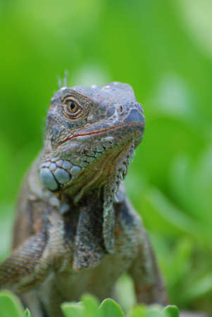 Up close with a brown iguana in a bush.