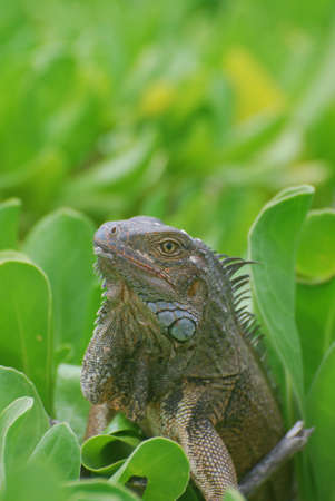 Common iguana sitting in the top of a bush.