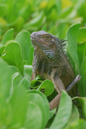 Green bush with an iguana sitting in the top.