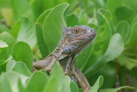 Up close with a common iguana perched in a green bush. 写真素材