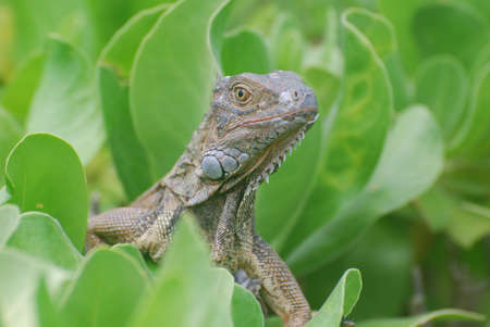 Curious common iguana perched in a green shrub. 写真素材 - 149478589