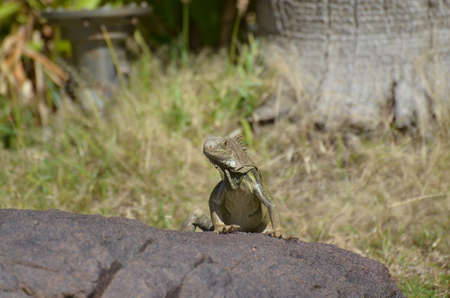 American iguana climbing up to the top of a rock. 写真素材