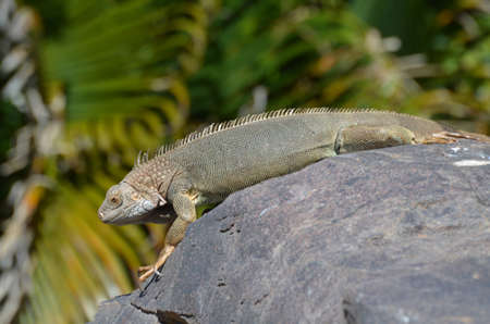 Common iguana stretched out on a rock in Aruba. 写真素材