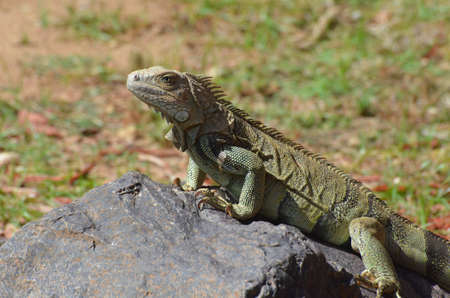 Fantastic face of an American Iguana on a Rock.