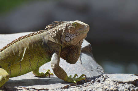 Common iguana with long claws creeping a long a rock. 写真素材 - 149479068