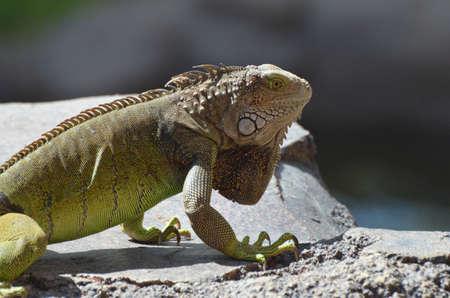 A great looking common iguana in Aruba. 写真素材 - 149480519