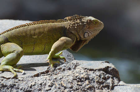 Common iguana with vivid scaled pattern. 写真素材