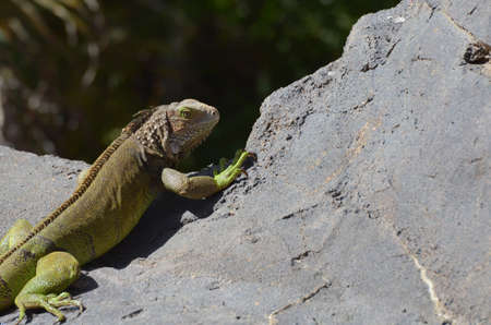 Common iguana peaking over the edge of a rock in Aruba. 写真素材 - 149478686