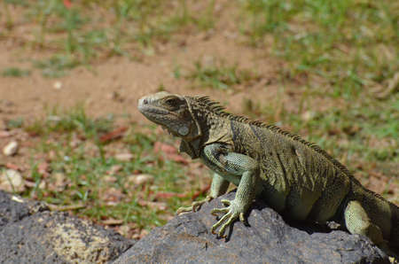 Face of a common iguana climbing up on top of a rock. 写真素材 - 149479684