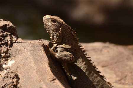 Side view of a brown iguana on a rock.