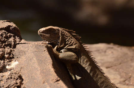 Brown iguana on a rock with his head down.