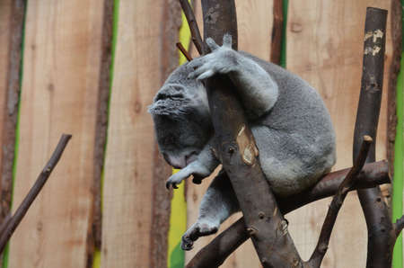 Koala bear sitting in a tree branch with his toes curled up.