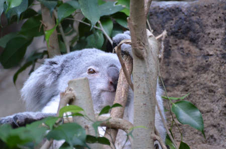 Adorable face of a koala bear sitting up in a tree. 스톡 콘텐츠