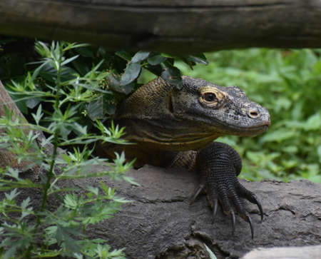 Komodo monitors are large lizards. 写真素材 - 149485074