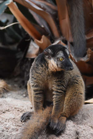 Gorgeous Brown Collared Lemur Close Up in Nature