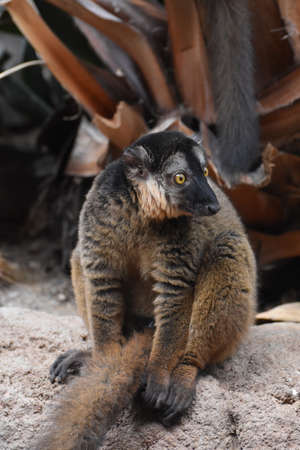 Cute Brown Collared Lemur with a Tired Expression