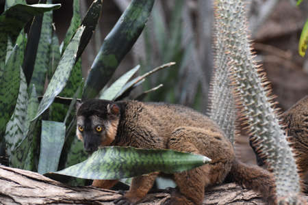 Amazing Image of a Collared Lemur Having a Snack