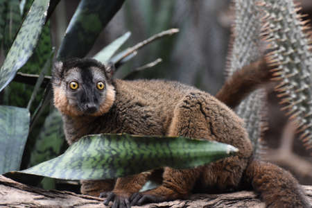 Amazing Collared Lemur with Wide Open Eyes Stok Fotoğraf