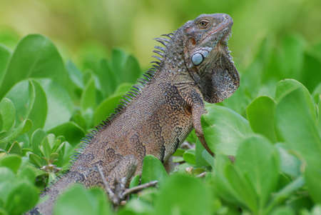 Brown iguana sitting in the top of green shrubbery. 写真素材 - 149486013